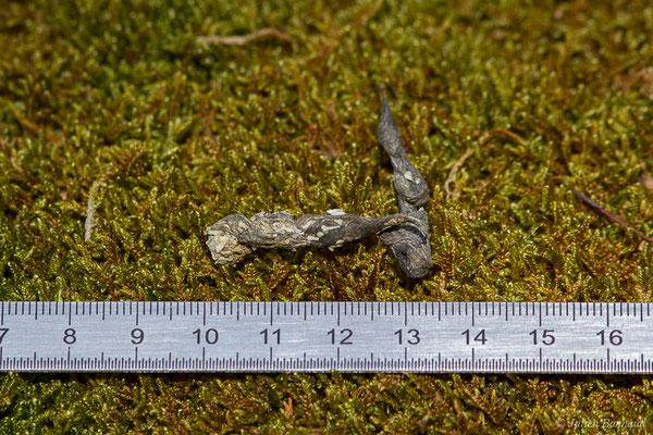 Hermine – Mustela erminea Linnaeus, 1758, (crotte) (fort du Portalet, Etsaut (64), France, le 26/03/2021)