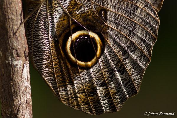 Caligo ou papillon chouette (Caligo eurilochus) (Remire-montjoly, le 08/01/2017)