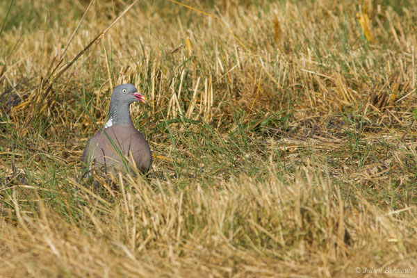 Pigeon ramier (Columba palumbus) (Périgueux (24), France, le 06/08/2018)
