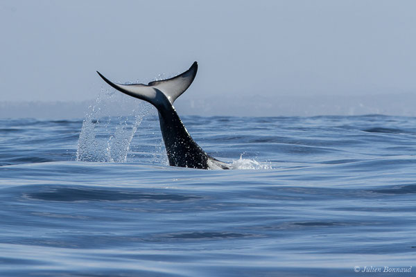 Orque ou Épaulard – Orcinus orca (Linnaeus, 1758), (Saint-Jean-de-Luz (64), France, le 05/10/2019)