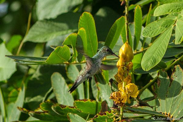 Ariane de linné (Amazilia fimbriata) (marais Leblond, Cayenne, le 25/09/2017)