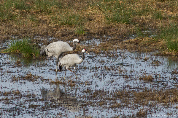 Grue cendrée (Grus grus) (réserve des barthes de Saint-Martin-de-Seignanx (64), France, le 19/01/2019)