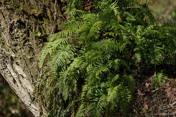 Polypode vulgaire (Polypodium vulgare) (Lac d'Orthez (64), 16/03/2019)
