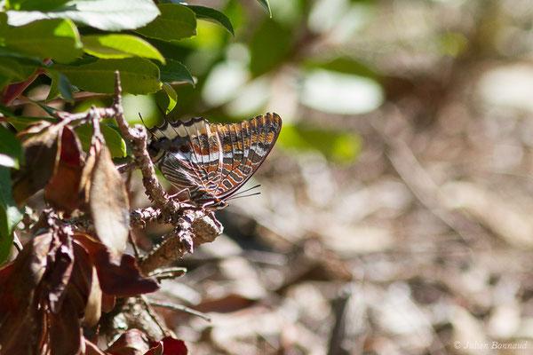 Nymphale de l'Arbousier ou Jason ou Pacha à deux queues ou Jasius (Charaxes jasius) (Ajaccio (2A), France, le 01/09/2019)
