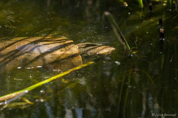 Émyde lépreuse – Mauremys leprosa (Schweigger, 1812), (Parc national de Doñana, El Rocio (Andalousie), Espagne, le 07/08/2020)