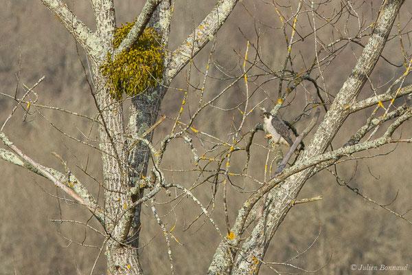 Faucon pèlerin – Falco peregrinus Tunstall, 1771, (réserve des barthes de Saint-Martin-de-Seignanx (64), France, le 19/01/2019)