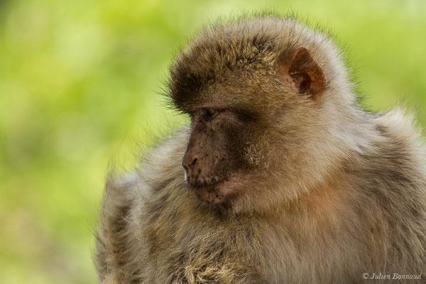 Magot ou Macaque berbère ou Macaque de Barbarie (Macaca sylvanus) (Tarifa (Andalousie), le 02/08/2020)
