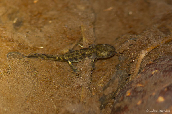 Salamandre tachetée (Salamandra salamandra) (larve) (Arrengosse (40), France, le 22/03/2021)