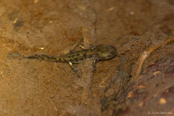 Salamandre tachetée – Salamandra salamandra terrestris (Lacepède, 1788), (larve) (Arrengosse (40), France, le 22/03/2021)