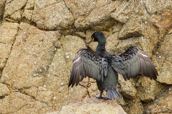 Cormoran huppé – Phalacrocorax aristotelis (Linnaeus, 1761), (Réserve naturelle nationale des Sept-Îles, Perros-Guirec (22), France, le 05/07/2021)