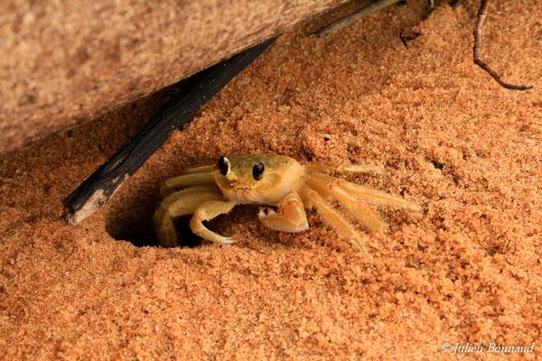 Crabe fantôme (Ocypode quadrata) (Plage des Salines, Remire-Montjoly, le 25/03/2012)