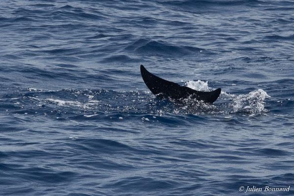Pseudorque ou fausse Orque – Pseudorca crassidens (Owen, 1846), (au large de Deshaies, Basse-Terre le 22/05/2016)