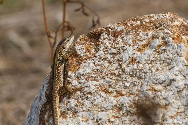 Lézard sicilien ou Lézard des ruines (Podarcis siculus) (Poticcio (2A), France, le 01/09/2019)