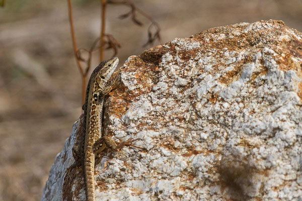 Lézard sicilien, Lézard des ruines – Podarcis siculus (Rafinesque-Schmaltz, 1810), (femelle adulte) (Poticcio (2A), France, le 01/09/2019)