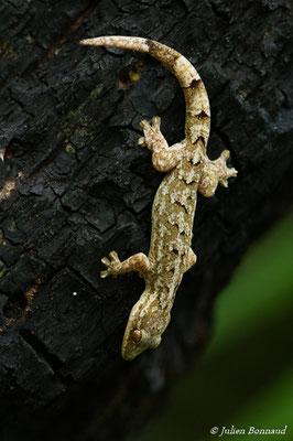 Gecko à pattes de canard (Thecadactylus rapicauda) (adulte) (Saint-Laurent du Maroni, le 15/09/2016)