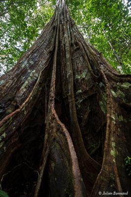 Tronc de Bushi Kusue (Sloanea guyanensis), Régina, le 15/07/2017