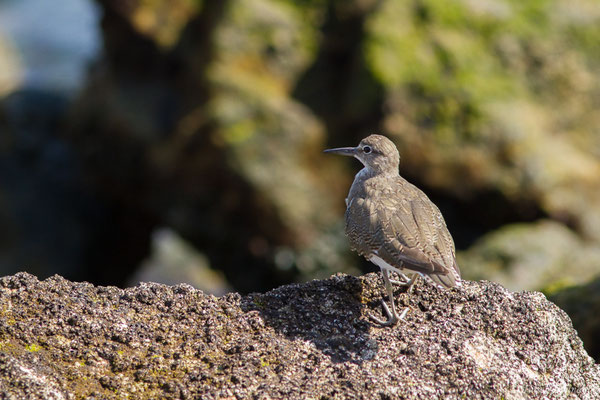 Chevalier guignette (Actitis hypoleucos) (Sagres (Vila do Bispo), (Algarve), Portugal, le 31/08/2018)