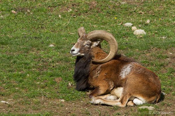 Mouflon d'Arménie – Ovis gmelinii Blyth, 1841, (Parc animalier des pyrénées, Argelès-Gazost (65), France, le 01/04/2018)
