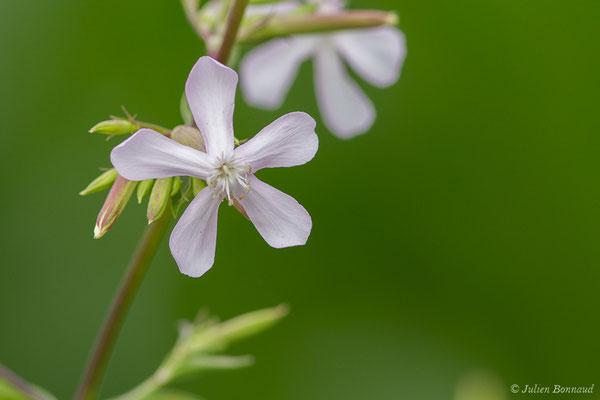 Saponaire officinale (Saponaria officinalis) (Artiguelouve (64), France, le 17/07/2019)