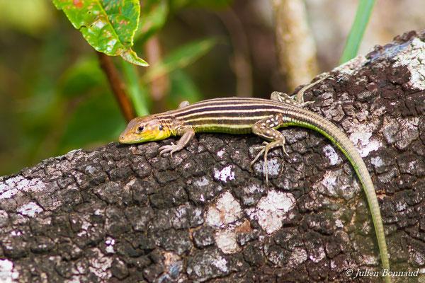 Lézard coureur incertain (Cnemidophorus lemniscatus) (femelle adulte) (Iracoubo, le 12/07/2016)