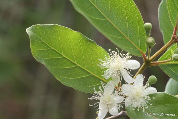 Psidium guineense (Centre Spatial Guyanais, Kourou, le 12/05/2014)