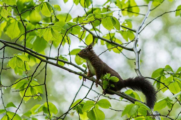 Écureuil roux – Sciurus vulgaris Linnaeus, 1758, (Luz-Saint-Sauveur (65), France, le 05/05/2021)