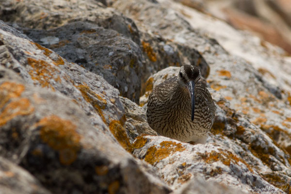 Courlis corlieu (Numenius phaeopus) (Lagos (Faro), (Algarve), Portugal, le 30/08/2018)