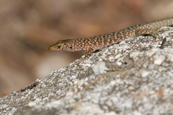 Lézard de Bedriaga (Archaeolacerta bedriagae) (femelle adulte) (Foret d'Aitone, Évisa (2A), France, le 11/09/2019)