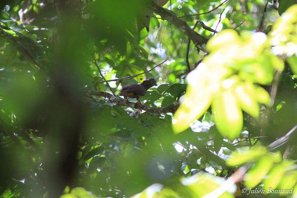 Coq-de-roche orange (Rupicola rupicola) (femelle adulte) (Montagne des Gouffres, le 21/11/2015)