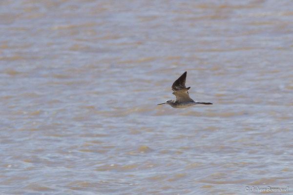 Chevalier solitaire (Tringa solitaria) (adulte, plumage intermédiaire) (Route des plages, Remire-Montjoly, Guyane, le 29/03/2017)
