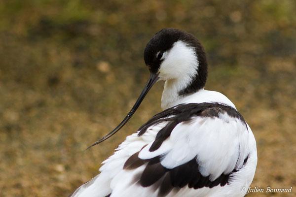 Avocette élégante (Recurvirostra avosetta) (adulte) (parc zoologique de Paris, le 24/11/2016)