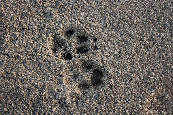 Renard roux – Vulpes vulpes (Linnaeus, 1758), (Empreintes) (aéroport d'Ossun (65), France, le 14/01/2019)