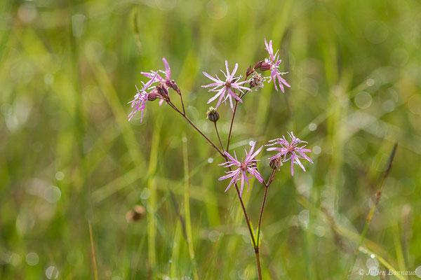 Lychnis Flos-cuculi (Lychnis flos-cuculi) (Parbayse (64), France, le 07/05/2020)