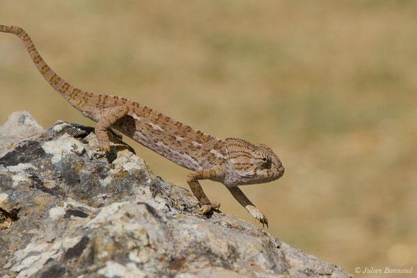 Caméléon commun (Chamaeleo chamaeleon) (Ria Formosa (Faro), (Algarve), Portugal, le 01/09/2018)