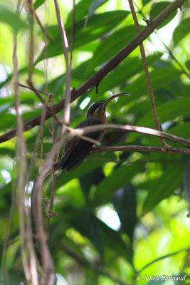 Ermite de hirsute (Glaucis hirsutus) (adulte)