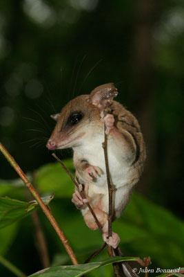 Opossum-souris délicat des Guyanes (Marmosops parvidens) (Centre Spacial Guyanais, Kourou, le 10/12/2014)