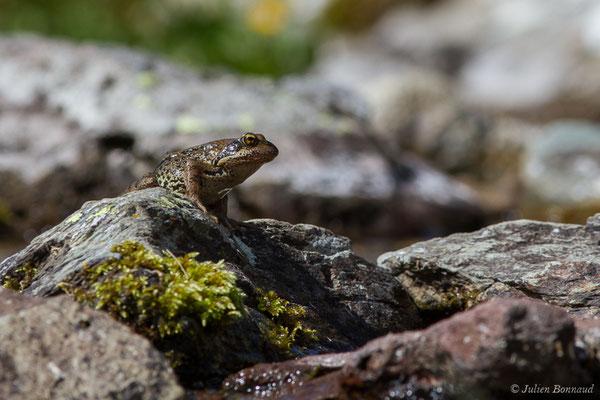 Grenouille rousse (Rana temporaria) (Pic du Midi d'Ossau, Laruns (64), France, le 04/08/2018)