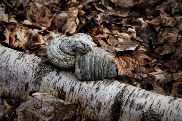 Der Baum fällt um - der Pilz wächst weiter - Foto: Gerd Jürgen Hanebeck