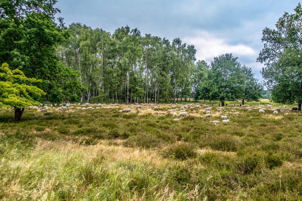 30 Schafe, Boberger Dünen - Foto: Adolf Dobslaff