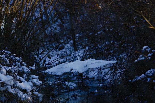 Silberreiher, eine Schönheit im Schnee - Foto: Marina Staniek
