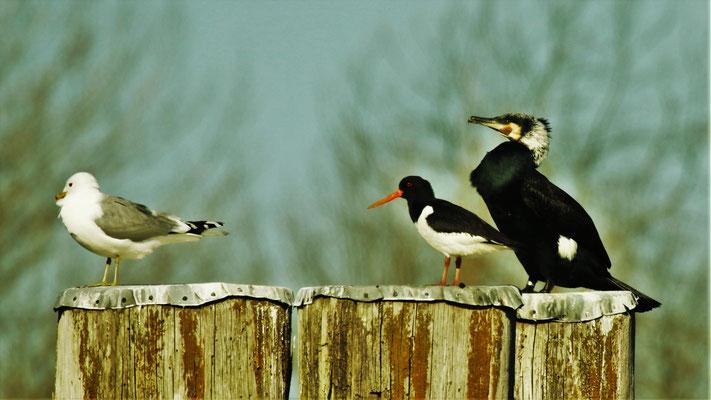 Vogelfreundschaften, Süderelbe - Foto: Lothar Boje