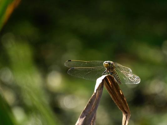 18 Libelle - Foto: Dagmar Esfandiari