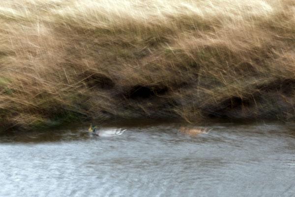 Kreative Unschärfe: Stürmische Enten - Foto: Borg Enders