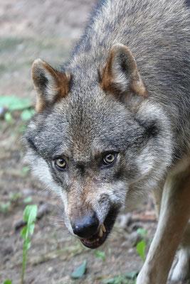 Wolf, Wildpark Schwarze Berge - Foto: Uta Svensson