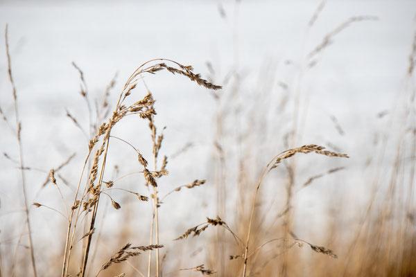 Gräser im Winter - Foto: Britta Hamann
