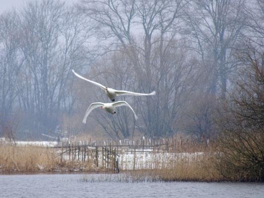 Höckerschwäne am Wintermorgen - Foto: Gesine Schwerdtfeger