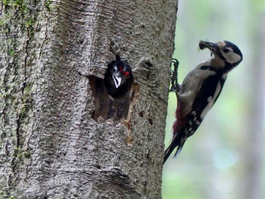 Die Fütterung des Buntspechts - Foto: Elvira Lütt