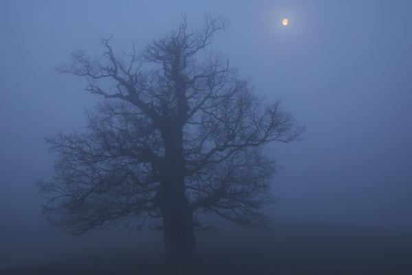 Alte Eiche mit Mond, MeckPomm - Foto: Pertti Raunto