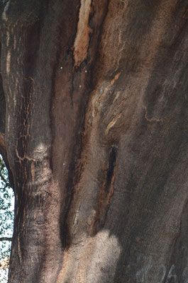 Älteste Korkeiche der Welt