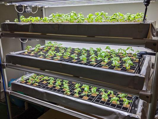 栽培用LED装置に設置完了